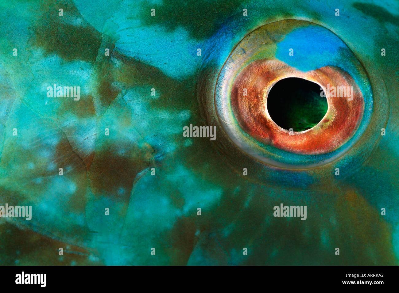 Nr0664D. ojo de pez loro Scarus sp., Belice Mar Caribe. Foto Copyright Brandon Cole Imagen De Stock