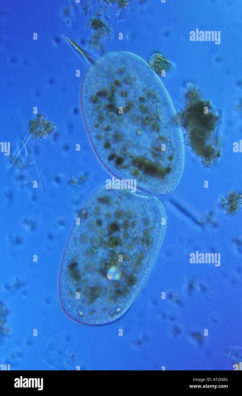 La división celular de protozoarios Ciliata Bipartition microscopia óptica Foto de stock