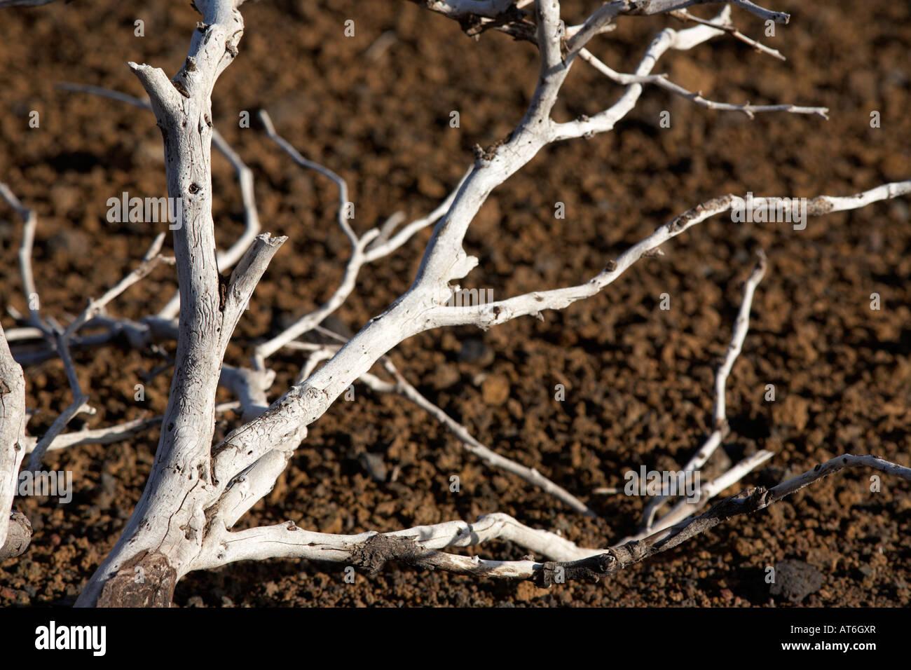 Secado de Madera muerta rama acostado en el desierto roca volcánica Tenerife Islas Canarias Imagen De Stock