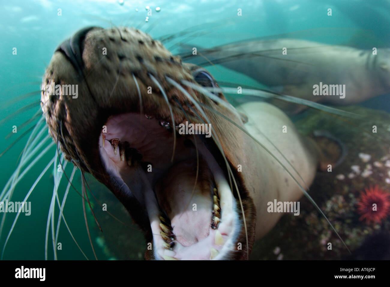 Nx0181-D. Steller leones, Eumetopias jubatus. Juguetones lobos marinos abre la boca delante de la cámara. Foto Imagen De Stock