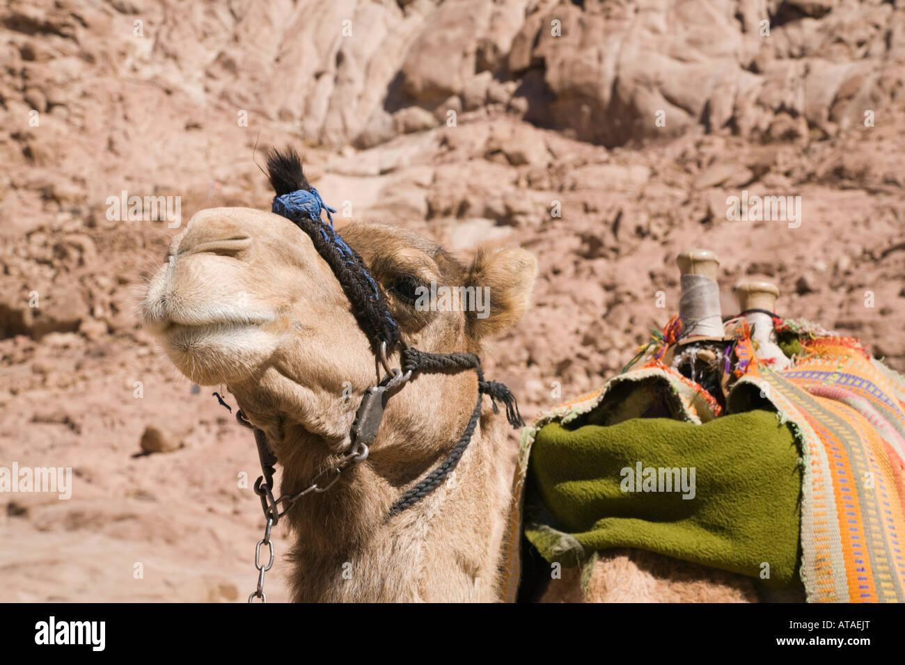 Península de Sinaí Egipto Asia camello Camelus dromedarius beduino ...
