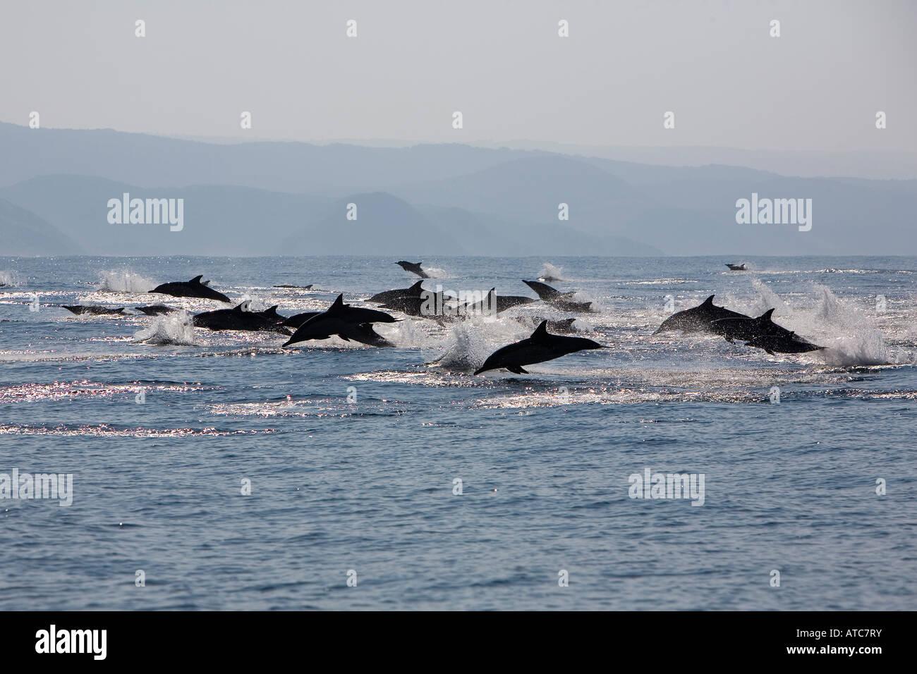 Largo delfines comunes picuda Delphinus capensis Costa Salvaje Transkei Sureste de África Océano Índico Imagen De Stock