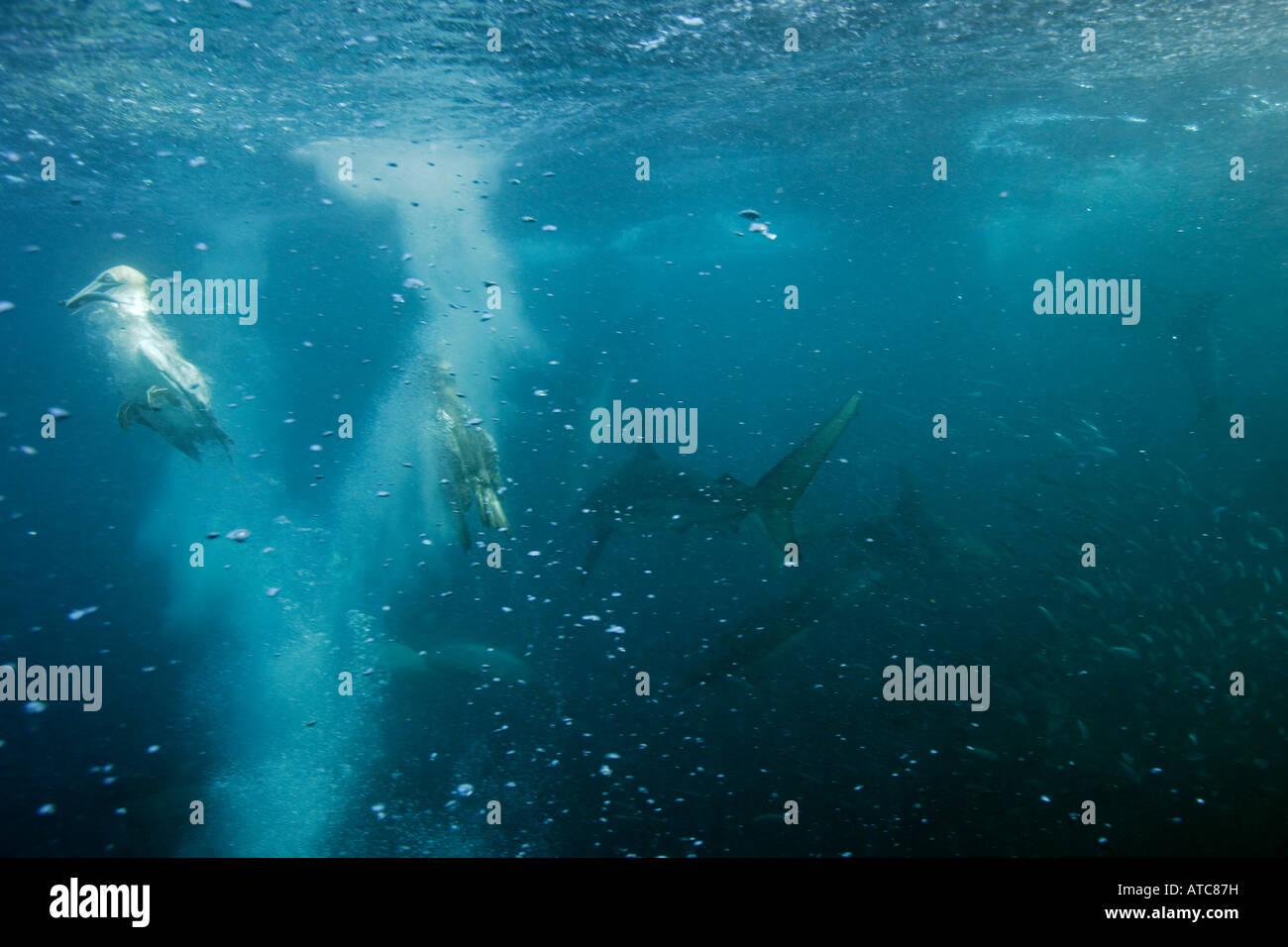 Alcatraces del Cabo y tiburones caza sardinas Morus capensis Costa Salvaje Transkei Sureste de África Océano Imagen De Stock