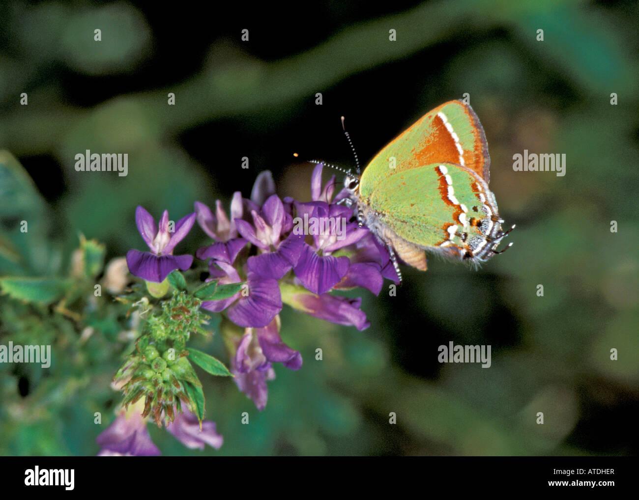 Juniper Hairstreak Callophrys gryneus fantasma canon Cañón Colorado, Estados Unidos el 30 de junio de adulto Foto de stock
