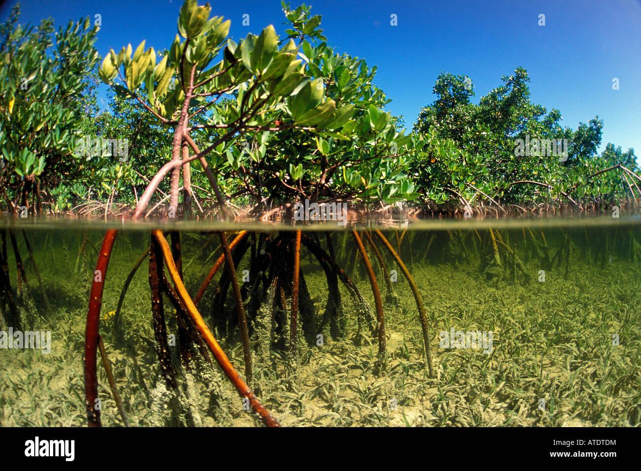 El mangle rojo Rhizophora stylosa Bimini Océano Atlántico Imagen De Stock