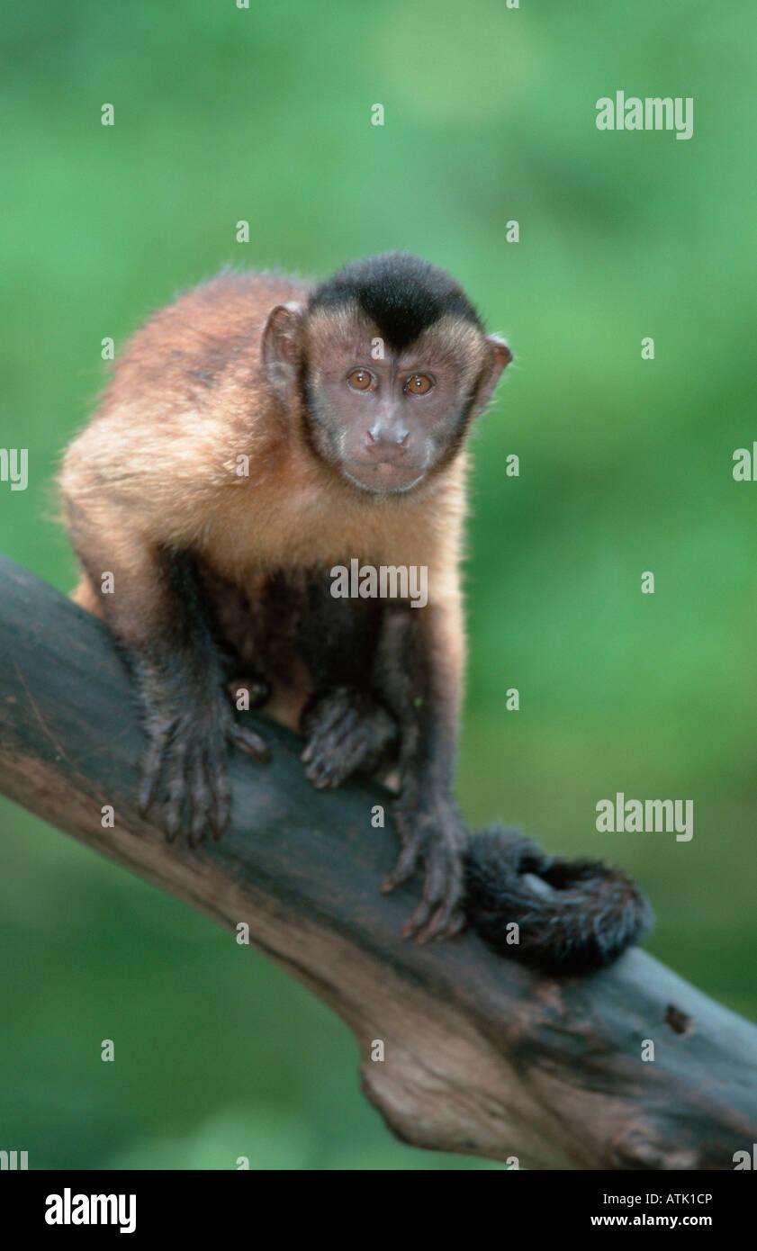 Llorona / Capuchinos Capuchinos coronadas de cuña Foto de stock
