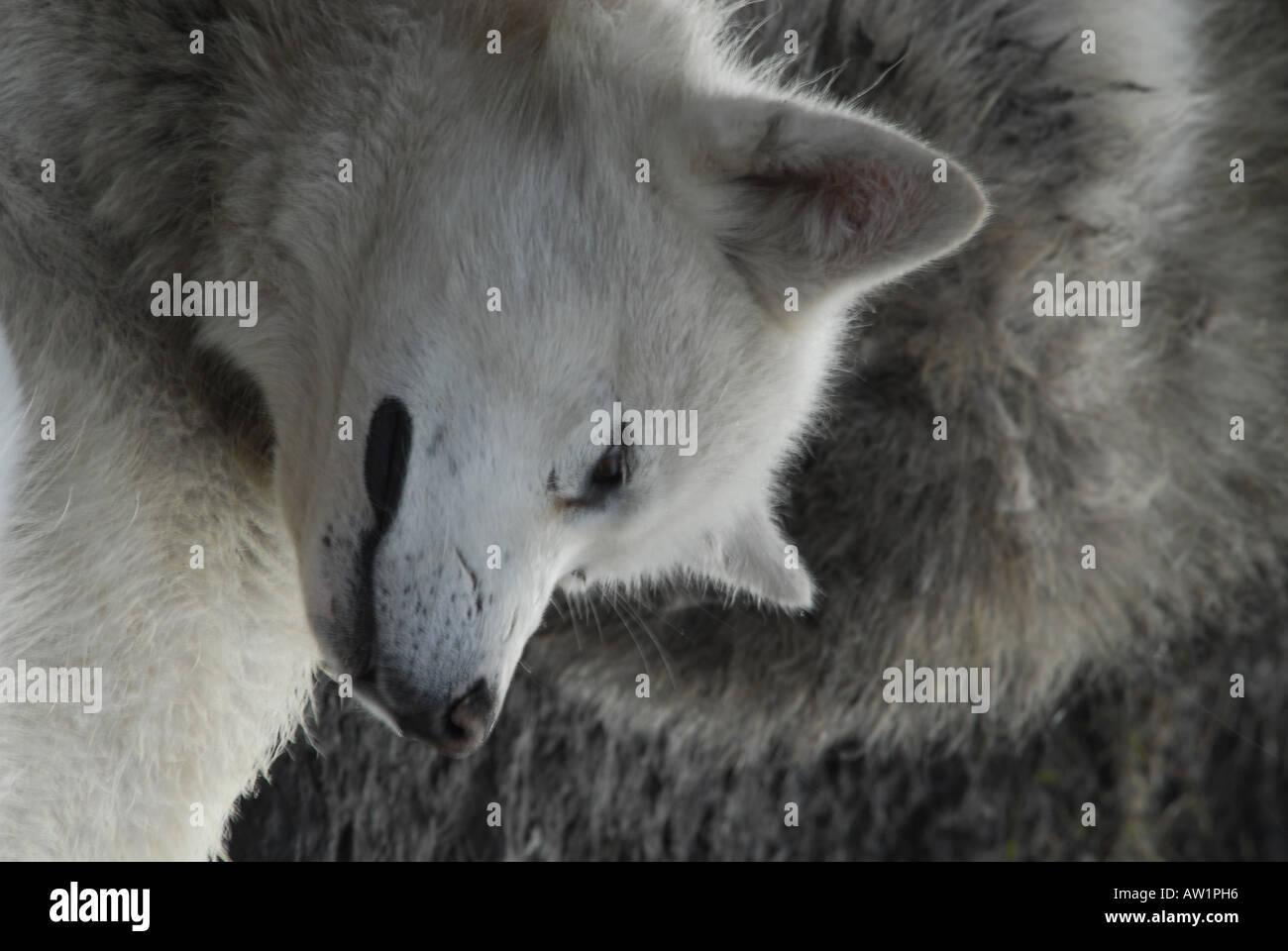 Perro de la isla de Baffin entrada estanque sleeding Alto Ártico Canadá turísticos remotos aislados Senderismo Senderismo la niebla rock rockly lengua Imagen De Stock