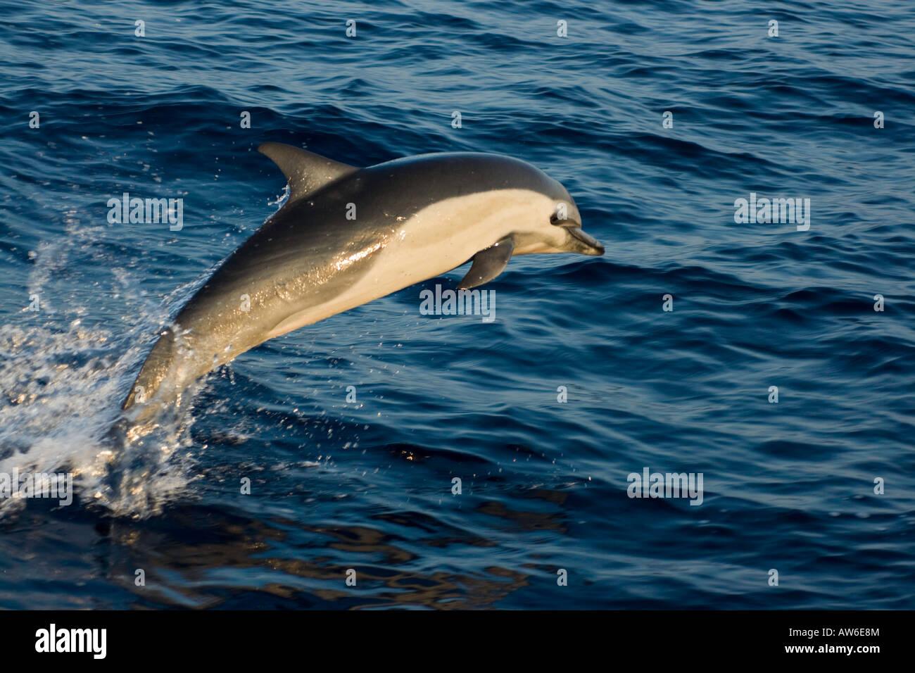 Este delfín común, Delphinus delphis, fue uno en una escuela de más de 1000 en el Pacífico fuera de Mexico. Foto de stock