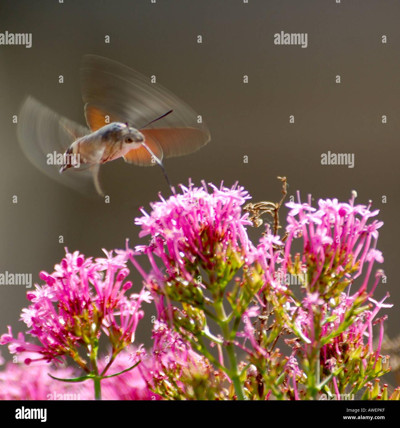 Colibrí Macroglossum stellatarum Polilla Halcón flotando y alimentando desde rosa Verbena bonariensis flores silvestres con alas borrosa Foto de stock