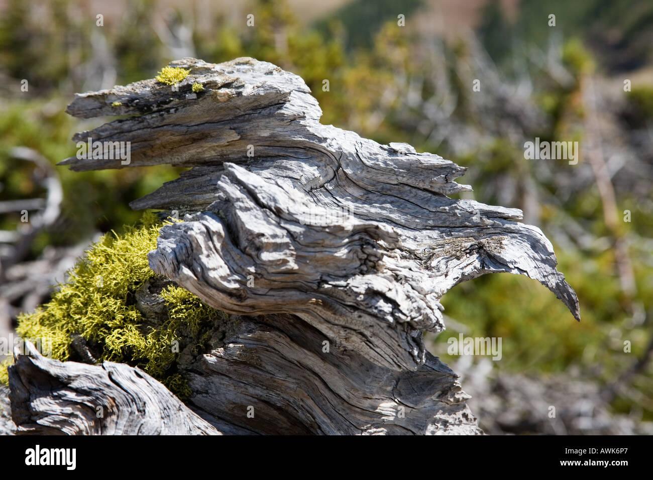 Los árboles muertos esqueléticos parecen extrañas criaturas de Table Mountain Alberta Canada Imagen De Stock