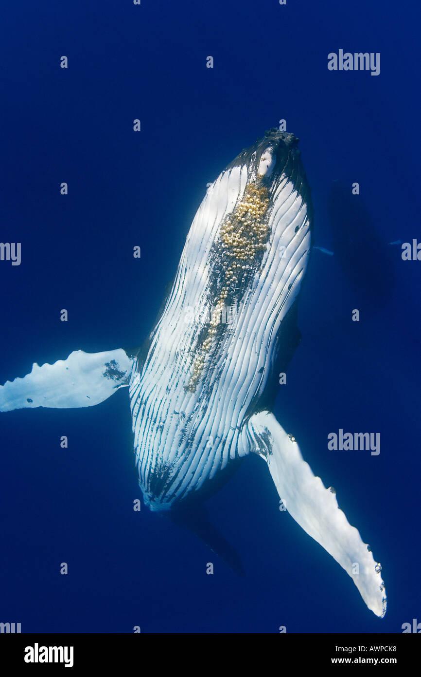 La ballena jorobada, Megaptera novaeangliae, con bellota parasitaria percebes bajo el mentón, Cornula diaderma, Hawai, Océano Pacífico Foto de stock