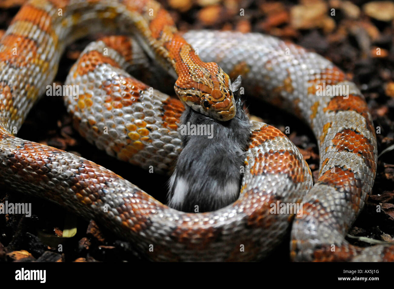 Maíz rojo o SERPIENTE SERPIENTE de Rata (Pantherophis guttatus) comiendo un ratón Imagen De Stock