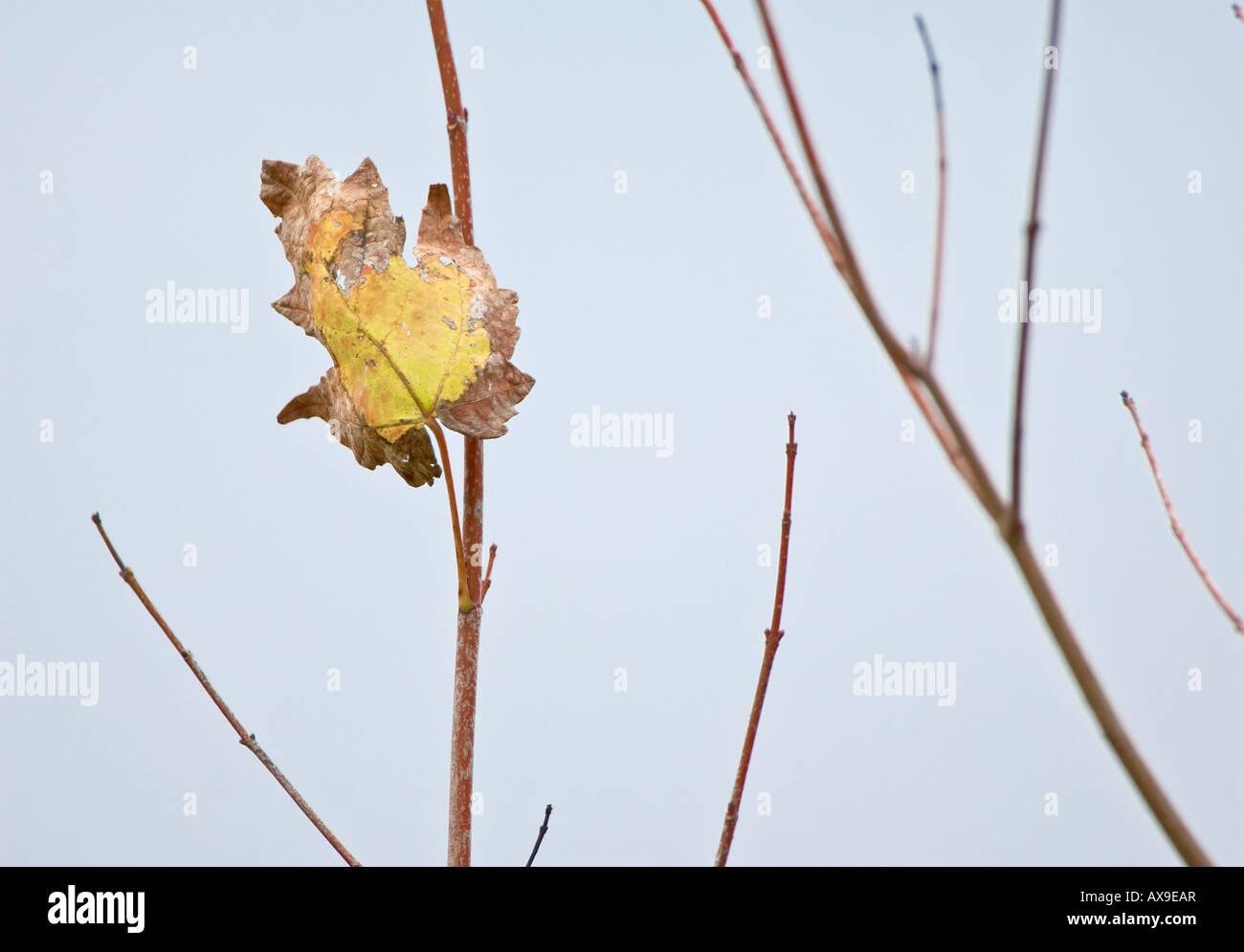 Hoja única en la rama de secado Foto de stock