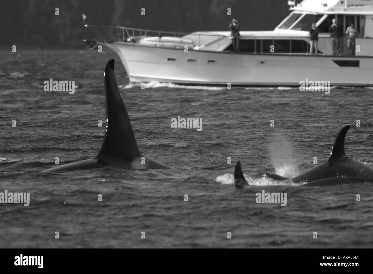 Orca, orcas pasan por un bote que los ocupantes ver la espectacular aleta dorsal del macho y el resto del pequeño pod Foto de stock