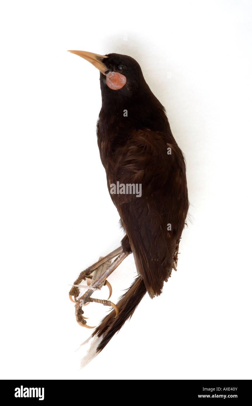 Aves extintas, Heteralocha acutirostris, Huia, colección del Museo Peabody de Yale, YPM 14730 Foto de stock