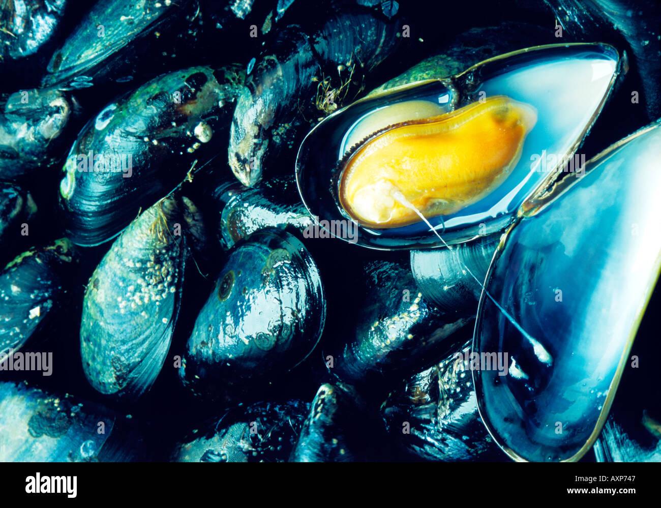 Increíble Anatomía Azul Mejillón Fotos - Anatomía de Las Imágenesdel ...