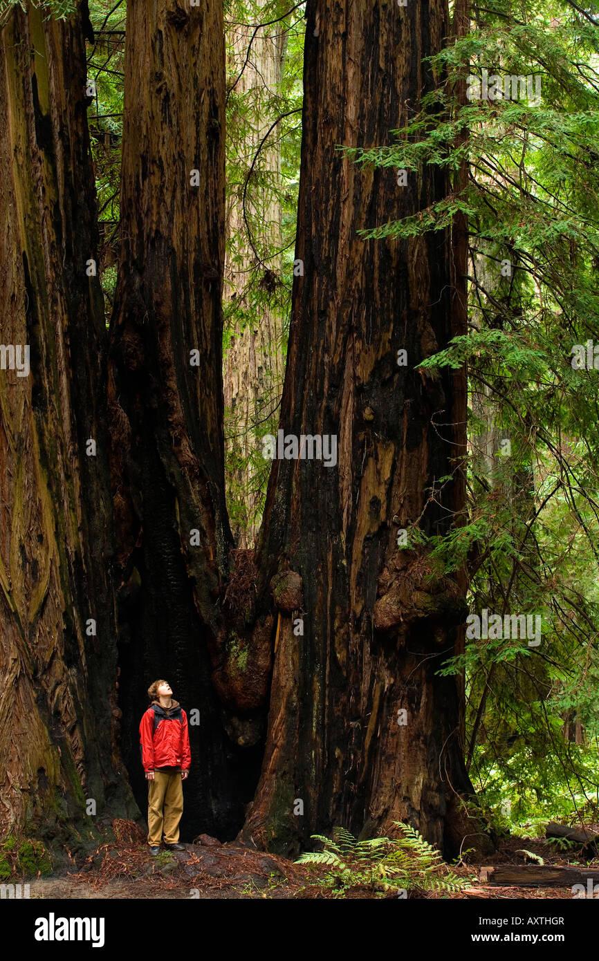 Un niño parado en medio de las altísimas secoyas de Montgomery Woods Reserva Estatal Foto de stock