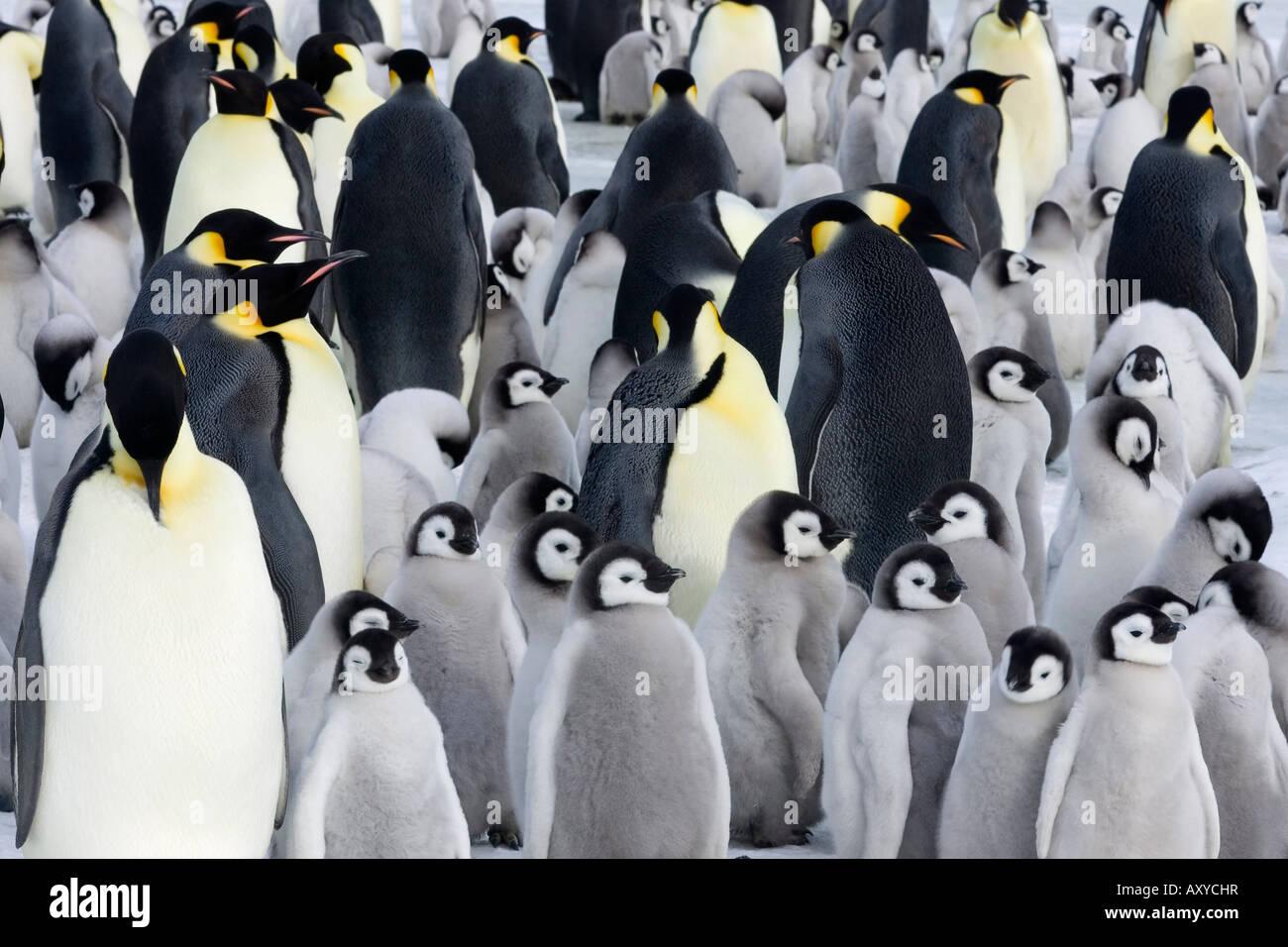 El pingüino Emperador (Aptenodytes forsteri), polluelos en Colonia, la isla Snow Hill, Mar de Weddell, en la Imagen De Stock