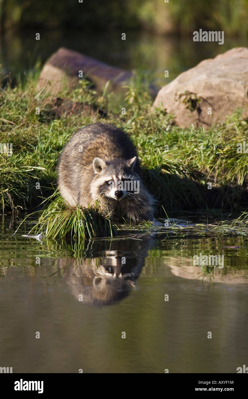 Mapache (Procyon lotor racoon) () en Waters Edge con reflexión, en cautividad, Minnesota Wildlife Connection, Imagen De Stock