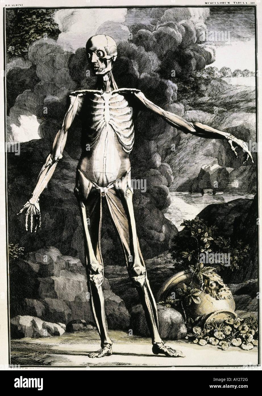 Medicina, anatomía, parcialmente disecada hombre, grabado en cobre ...
