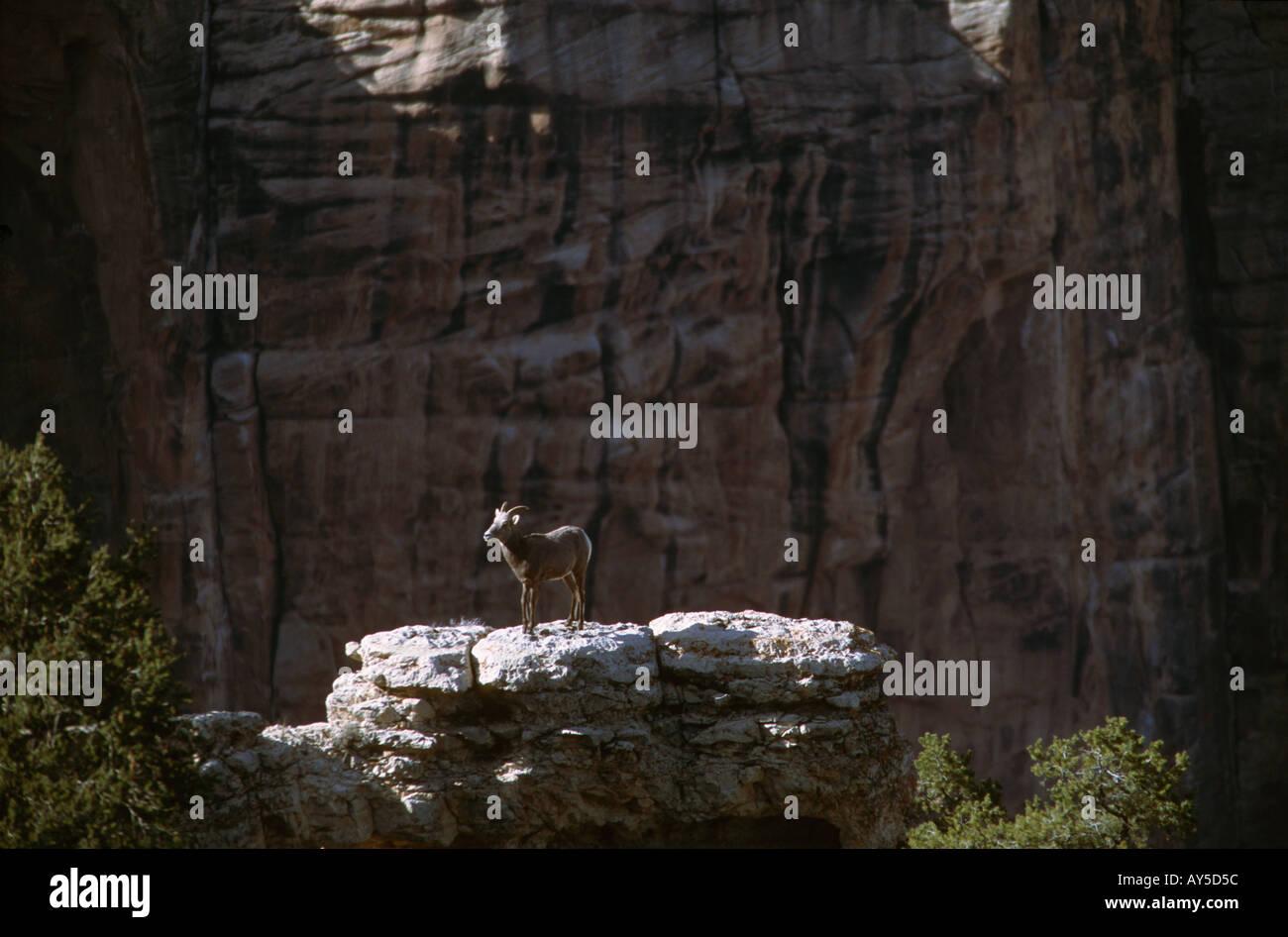 Cabra montés en un afloramiento rocoso cerca del punto Yapavi Grand Canyon, Arizona, EE.UU. Foto de stock