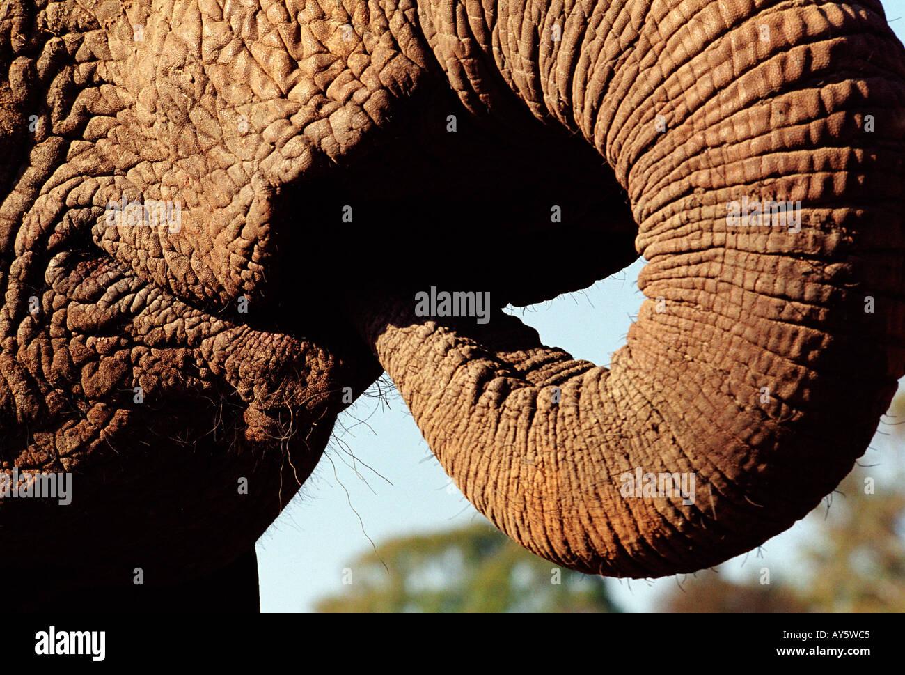 Close-up de la Trompa de Elefante y la boca mientras el agua potable ...