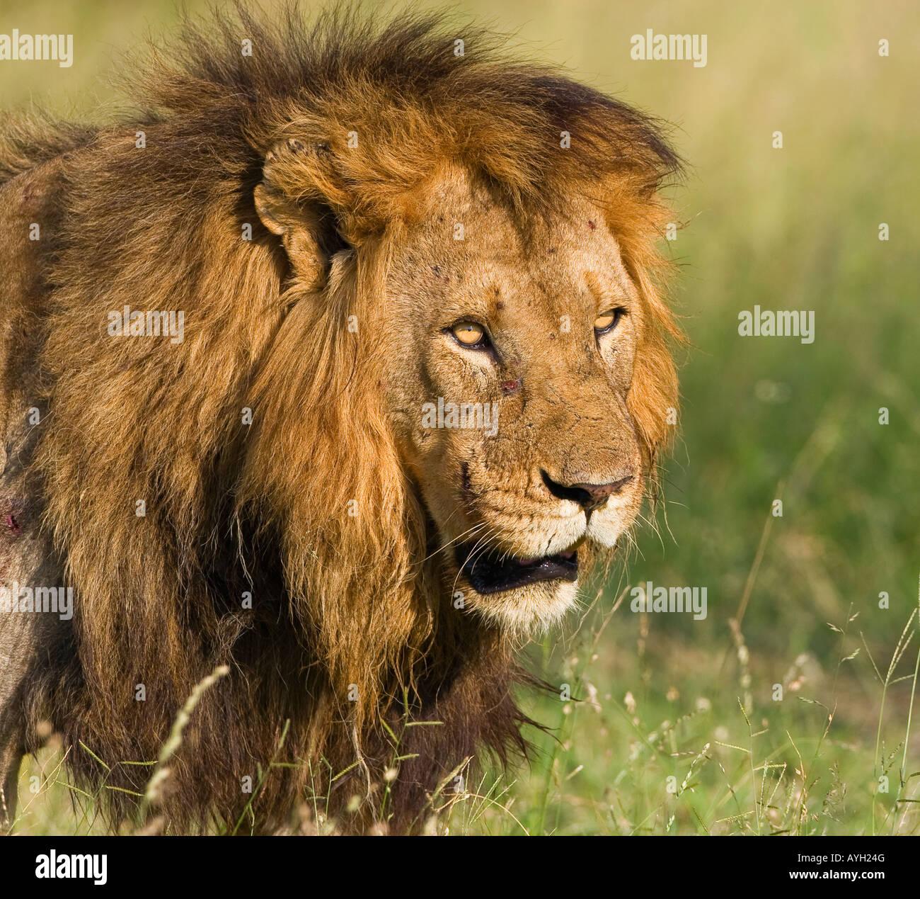 Cerca de león macho, mayor Parque Nacional Kruger, Sudáfrica Imagen De Stock