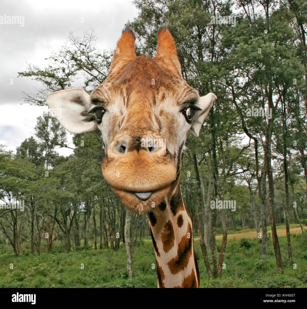 Jirafa en refugio cerca de Nairobi Kenya Africa hace goofy cara divertida Foto de stock