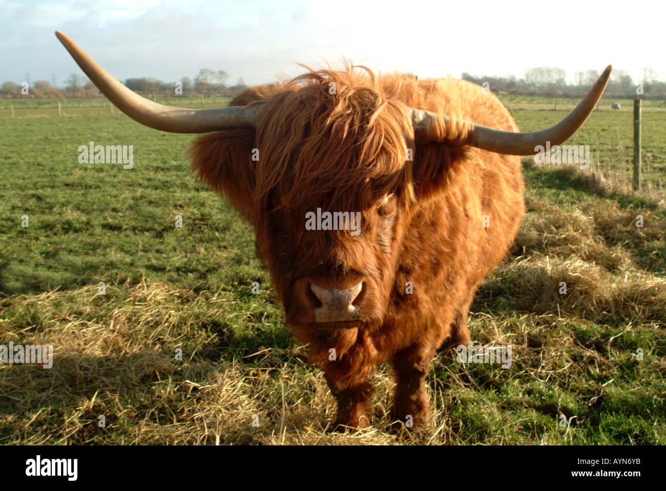 Highland vaca en campo en Oxfordshire, Inglaterra, Reino Unido. Foto de stock