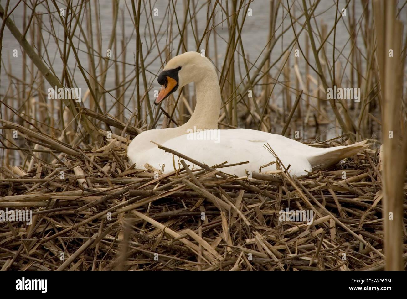 Cisne (Cygnus olor) en el nido Foto de stock