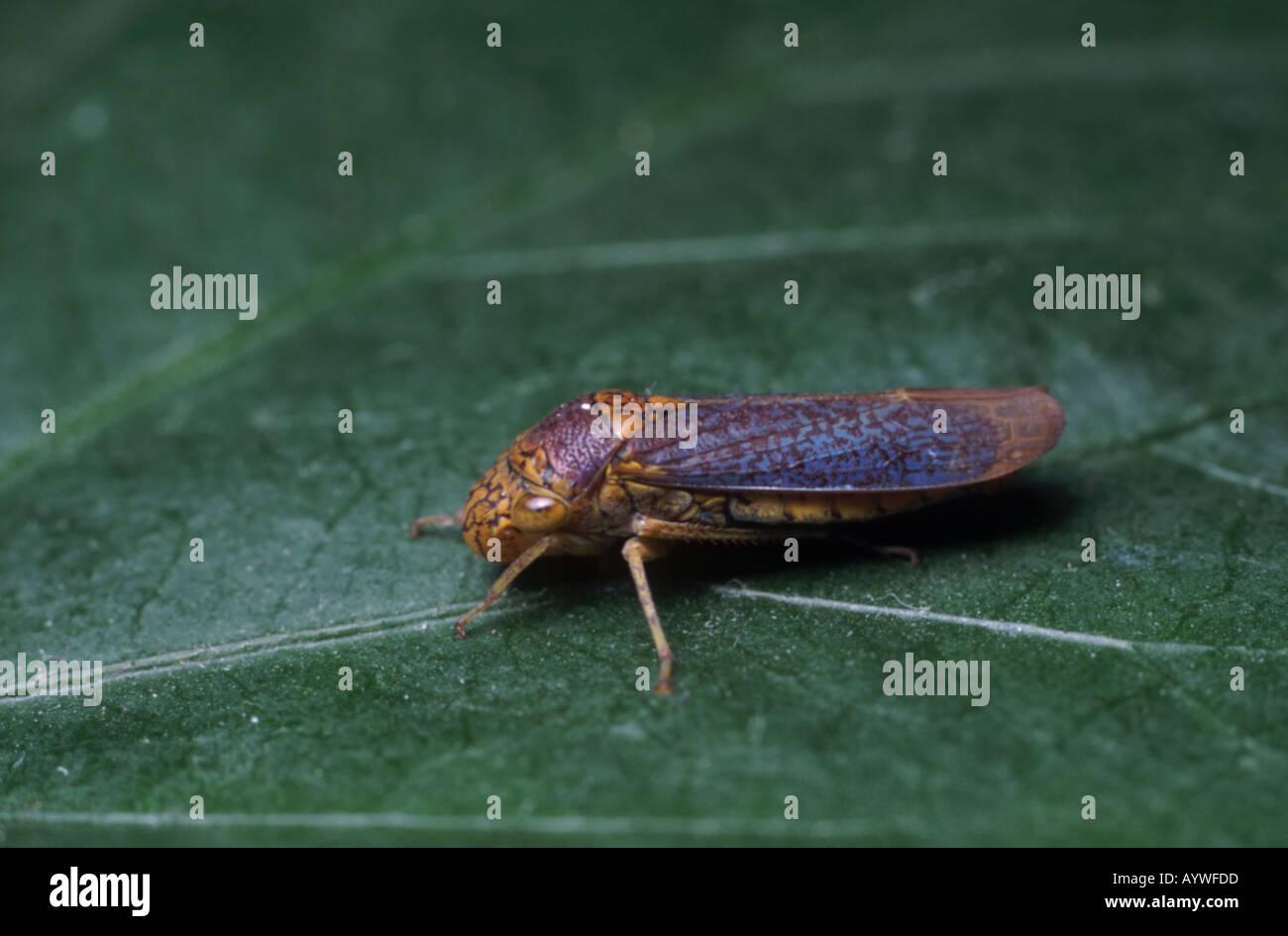 Sharpshooter leafhopper en reposo sobre una hoja Virginia EE.UU. Foto de stock