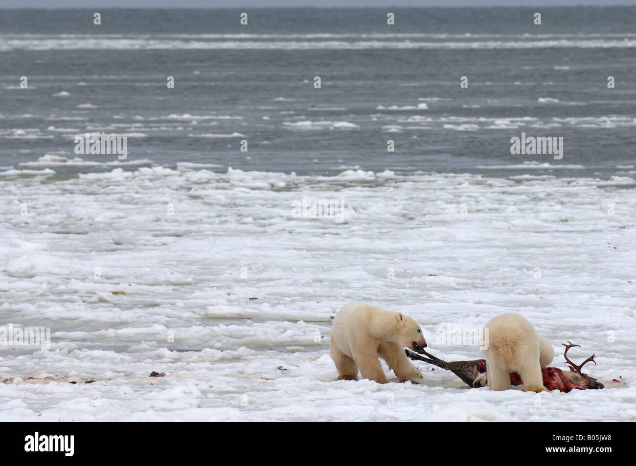 Manitoba fotografías únicas de la bahía de Hudson oso polar macho alimentándose de un cadáver Imagen De Stock