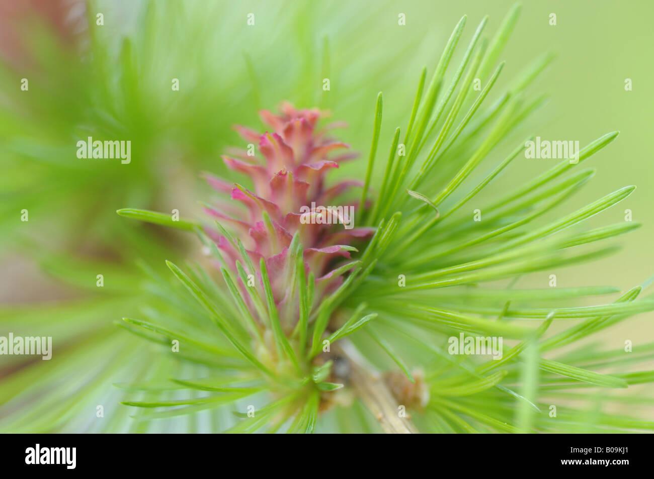 La flor femenina de un árbol alerce (Larix decidua) Foto de stock