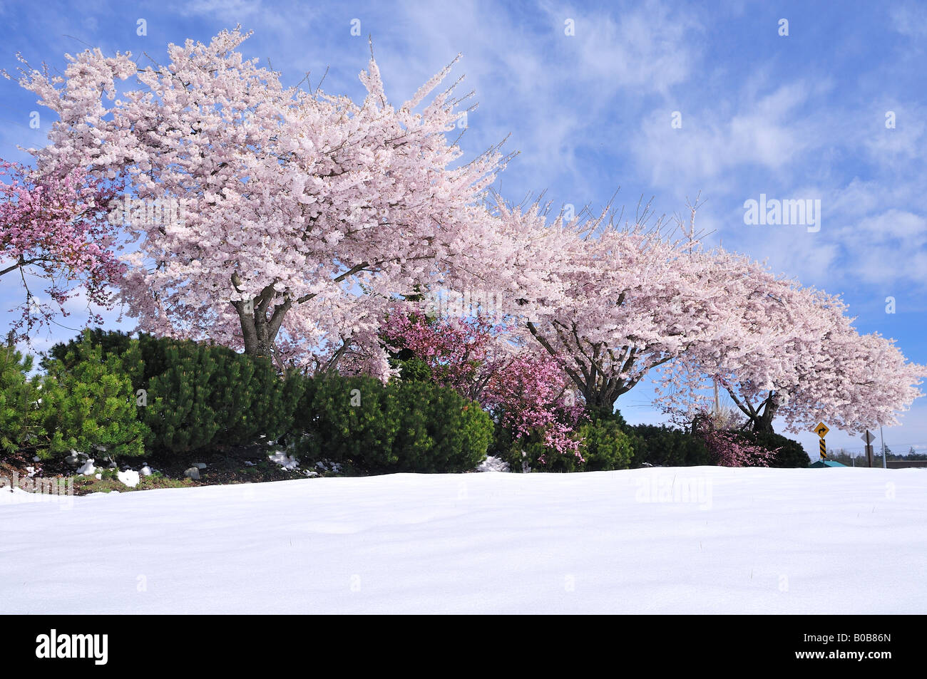 Cerezos en flor a finales de la primavera de nieve el 20 de abril el aeropuerto de Nanaimo, British Columbia, Canadá Foto de stock