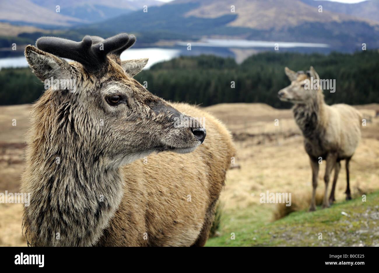 Un par de ciervos escoceses nativa representada en las Highlands de Escocia, Reino Unido. Imagen De Stock