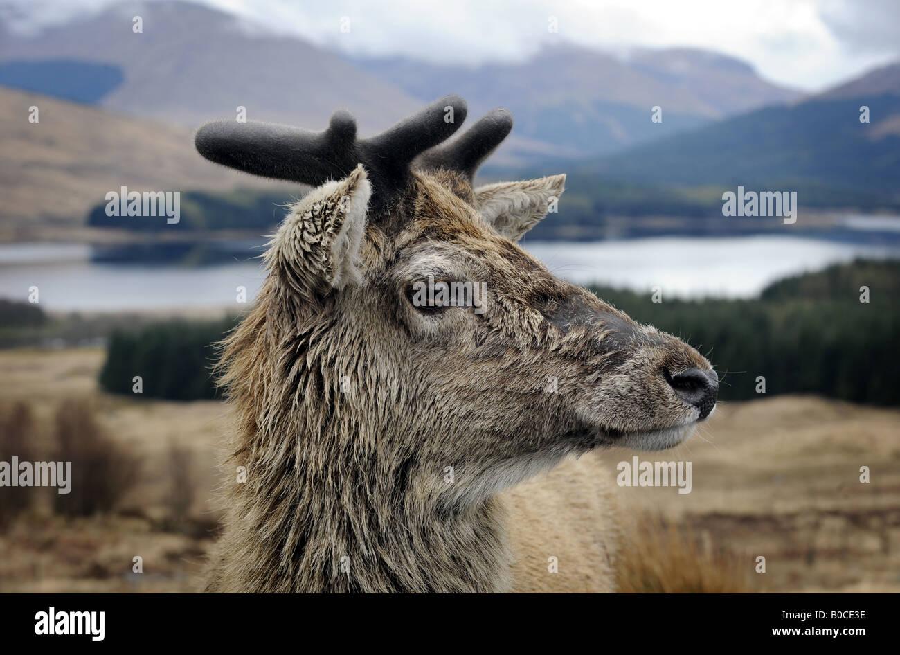 Un ciervo nativo de Escocia representada en las Highlands de Escocia cerca de Glencoe, UK. Imagen De Stock