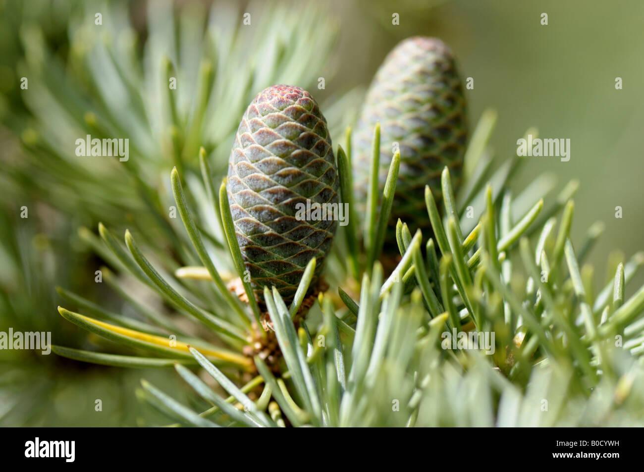 Los jóvenes los conos de pino en la rama de cedro del Atlas Foto de stock