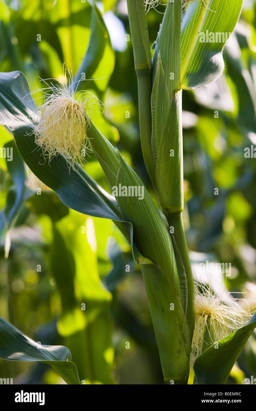 Cosecha de maíz en Foy Herefordshire Inglaterra Reino Unido Imagen De Stock