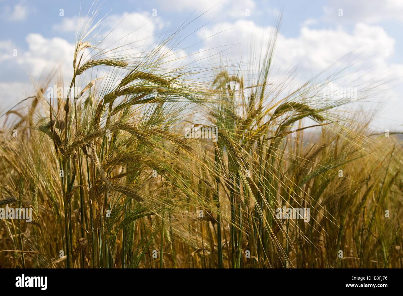 La maduración de la cebada en el agua Bourton Los Cotswolds Gloucetershire Reino Unido Imagen De Stock