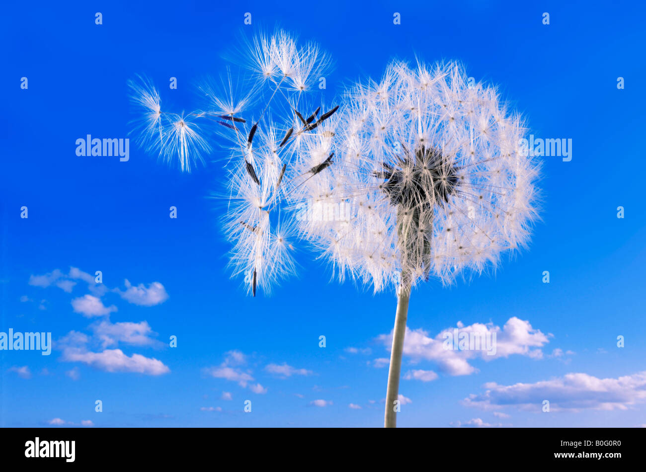 Reloj de diente de león contra un cielo azul Imagen De Stock