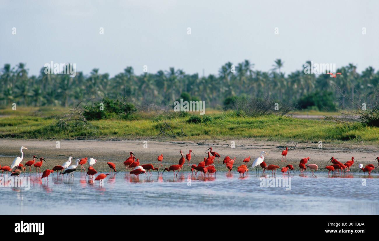 Los Flamencos (, Phoenicopteriformes Phoenicopteridae) a lo largo de la costa, Coro, Venezuela, Sudamérica Foto de stock