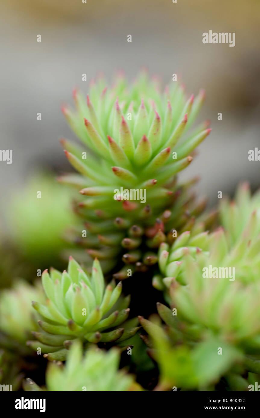 Sedum anglicum también conocido como English Stonecrop Foto de stock