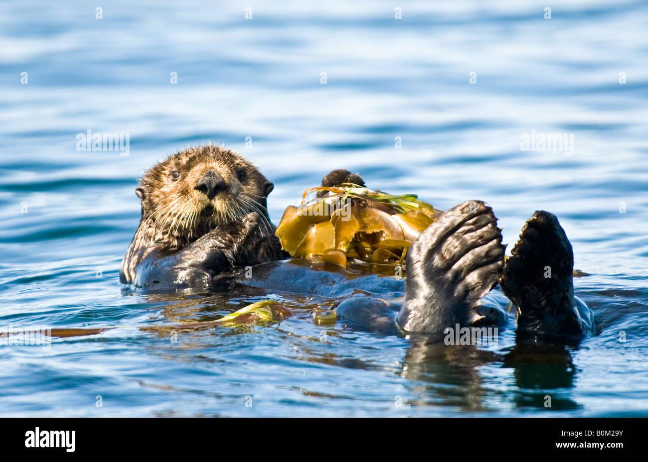 Estados Unidos Alaska nutria de mar descansando sobre la cama de algas en el océano Foto de stock