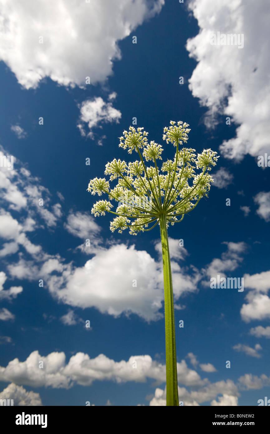 Un jardín florido umbela (angelica archangelica angélica). Ombelle d'angélique officinale en fleurs, Au Printemps. Foto de stock