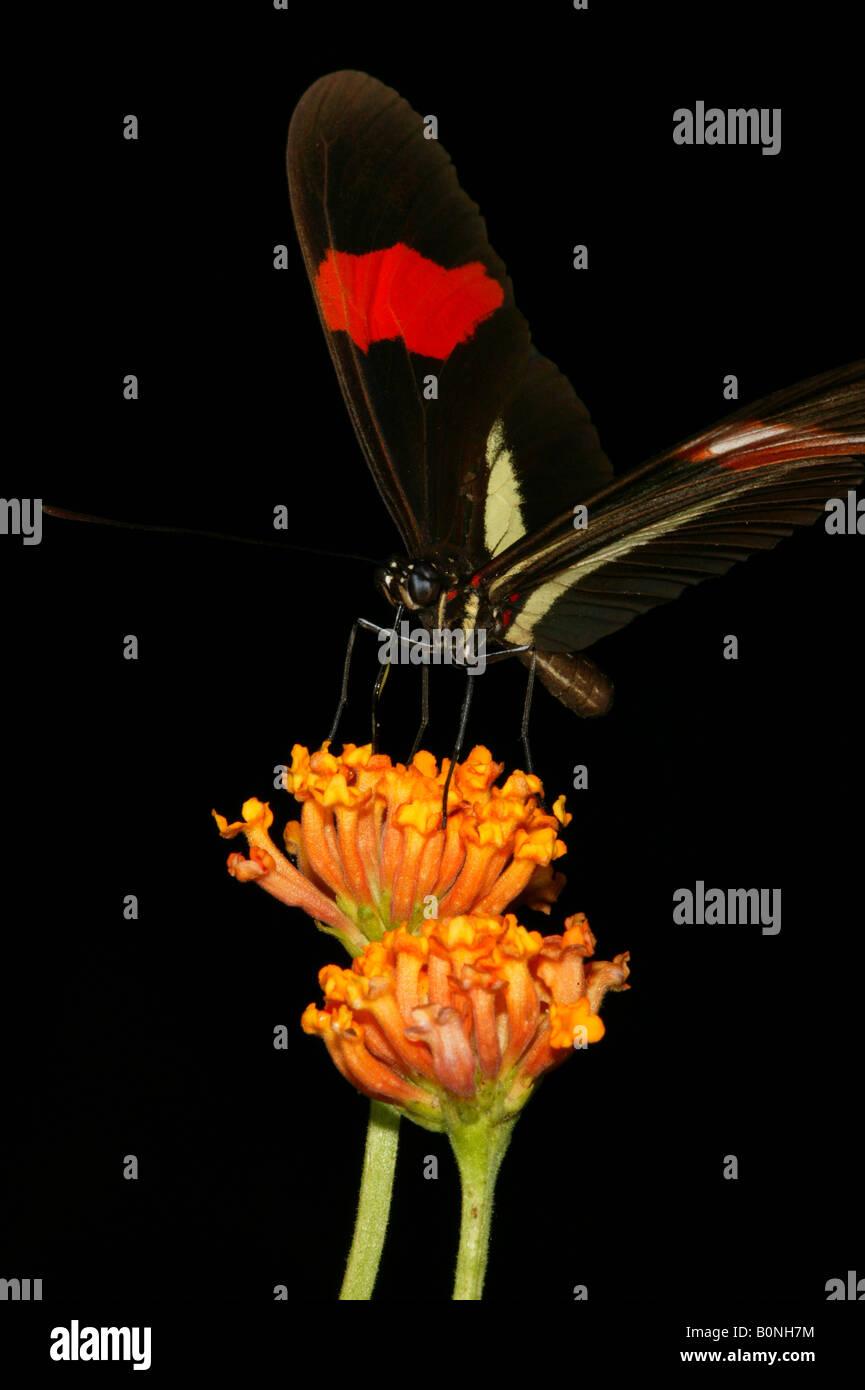 La hermosa mariposa llamada el cartero, Heliconius erato petiverana, en las 265 hectáreas de la selva del Parque Metropolitano de Santiago, República de Panamá. Foto de stock