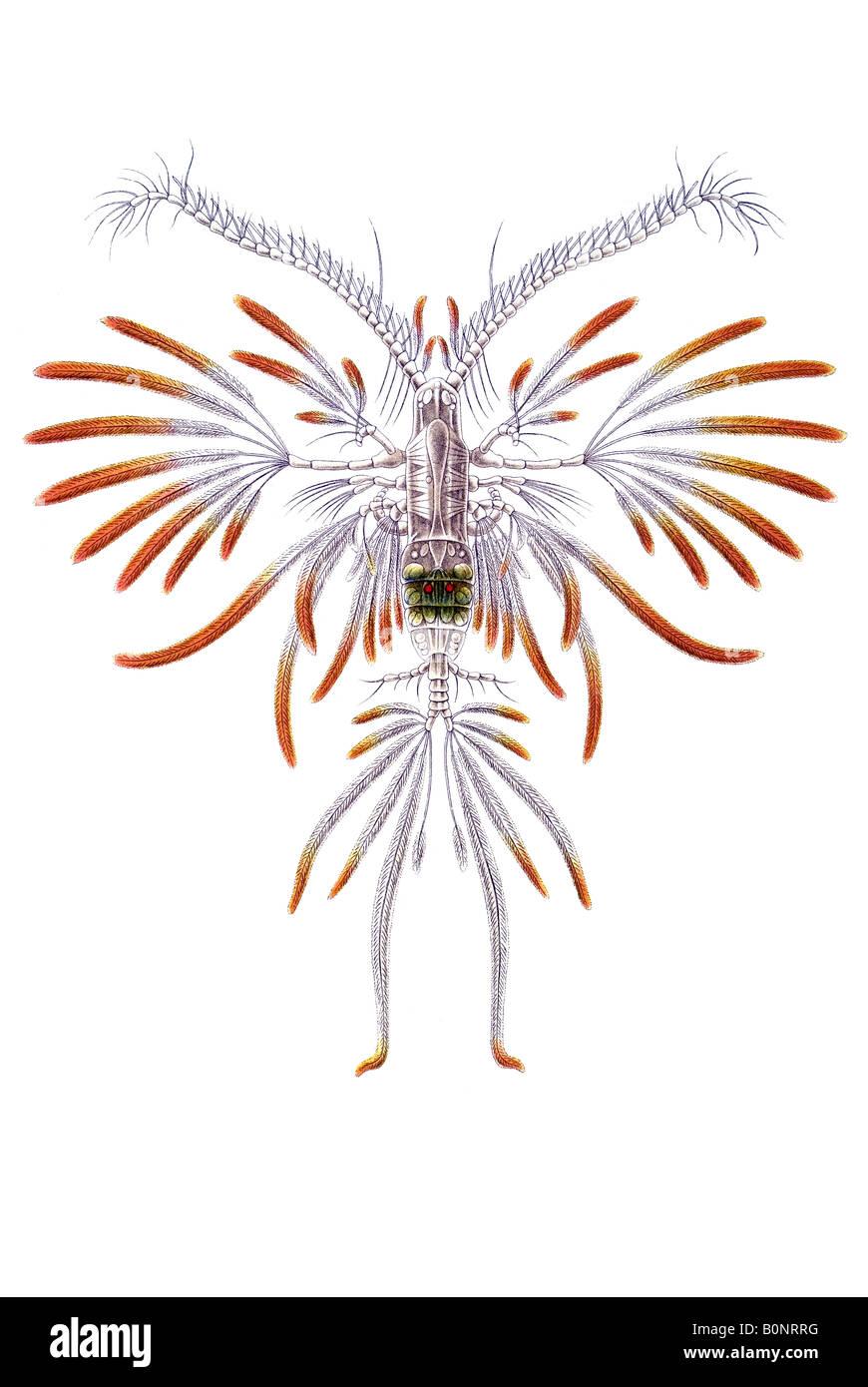 Nombre Ruderkrebse Copepoda Calanus Pavo Haeckel Kunstformen der Natur art nouveau de Europa en el siglo XX. Foto de stock
