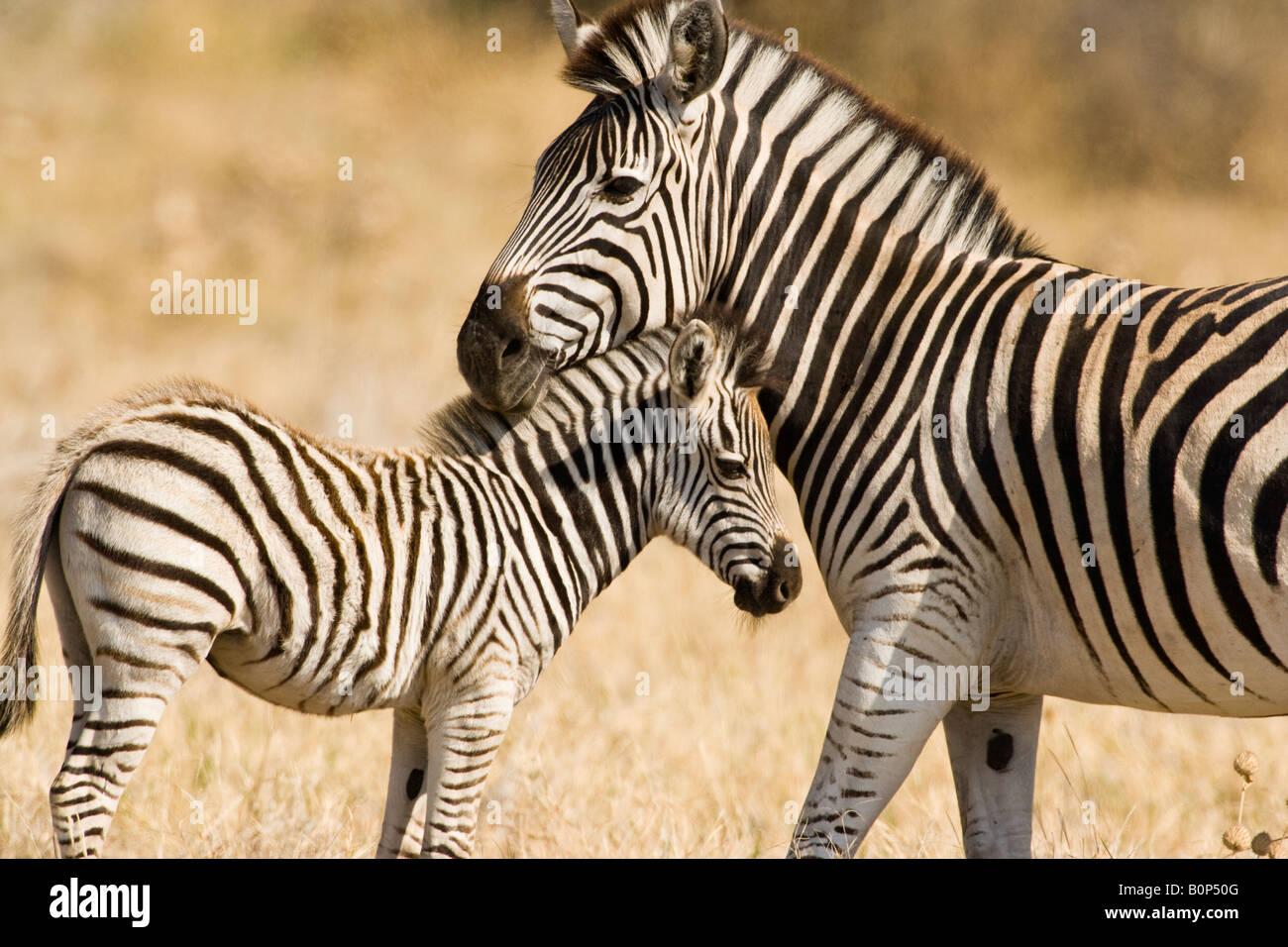 Madre protectora & Baby Cebra Sabana Savuti stand en Botswana, jefes juntos en afectuosa plantean en caliente suave luz de la tarde Foto de stock