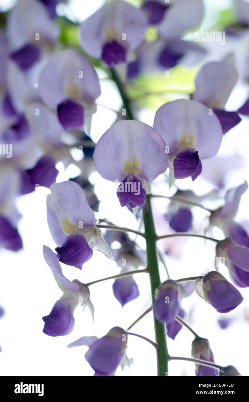 Wisteria floribunda - Japonés wisteria, Herefordshire Foto de stock