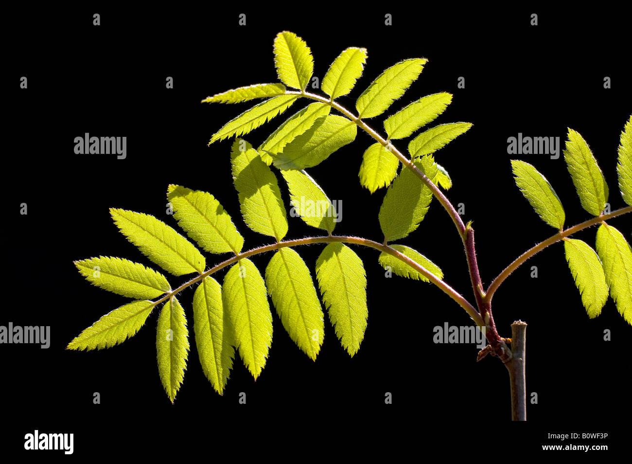 Unión Rowan hojas, el fresno de montaña (Sorbus aucuparia), primavera de follaje, brotes, retroiluminación, Imagen De Stock