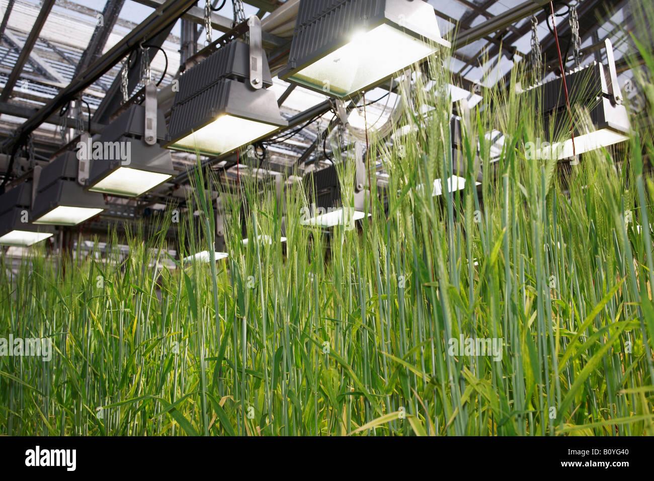 Cebada (Hordeum vulgare), panículas, cerrar Imagen De Stock